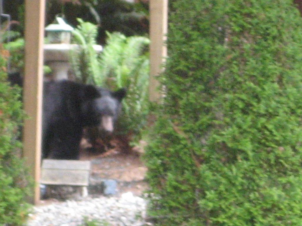 A Black Bear in our neighbor's yard.